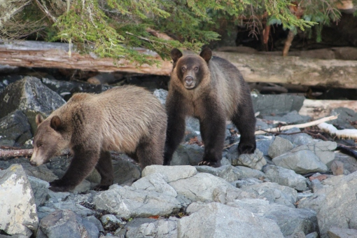 Grizzlies at Vancouver Island
