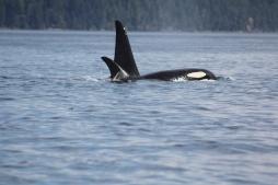 Orca family