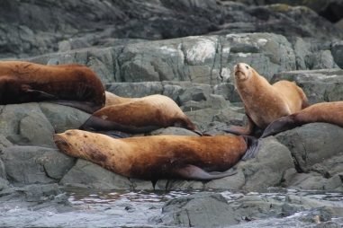 Sealions at Vancouver Island