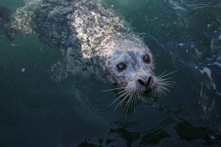 Seal in Victoria