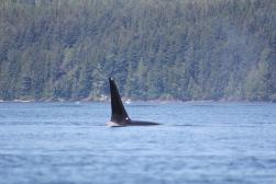 Orca Fin