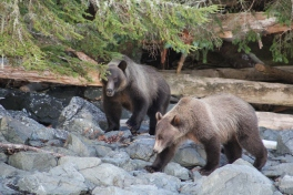 Grizzlies in Vancouver Island