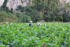tabacco farms