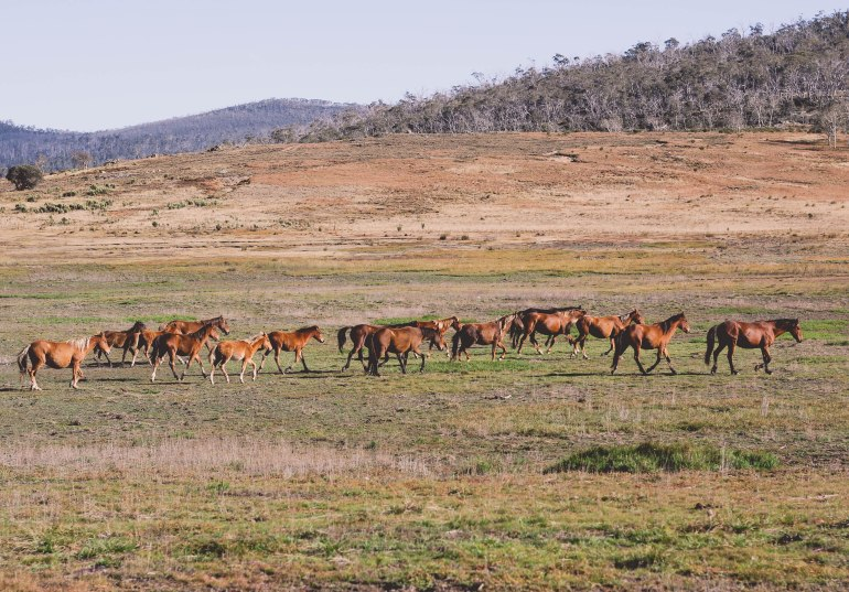 Wild Horses, Australia